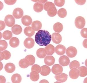 Базофилы в анализе крови как обозначаются